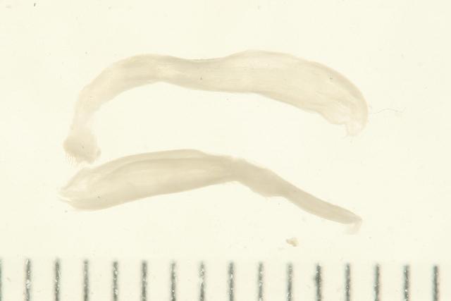 Image of Eukrohniidae