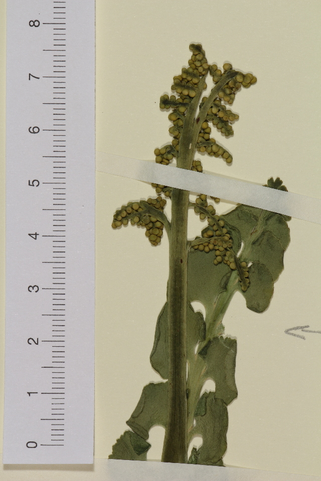 Image of Ophioglossales