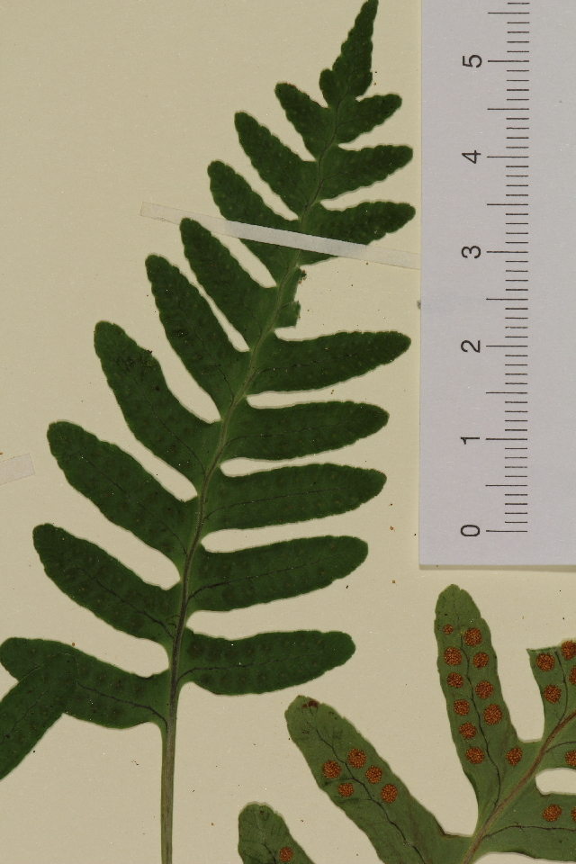 Image of polypody