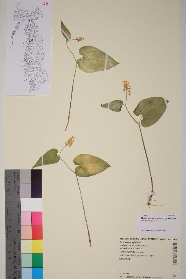 Image of Maianthemum