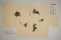 Image of diapensia