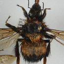 Image of High Arctic Bumble Bee