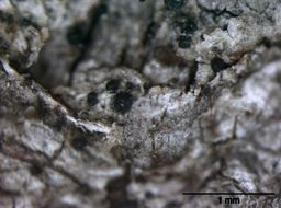 Image of anisomeridium lichen