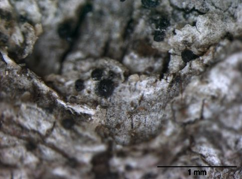 Image of anisomeridium lichen