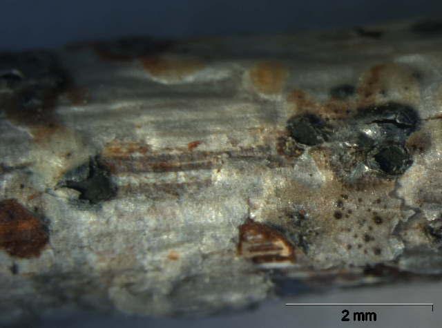 Image of Cryptodiscus
