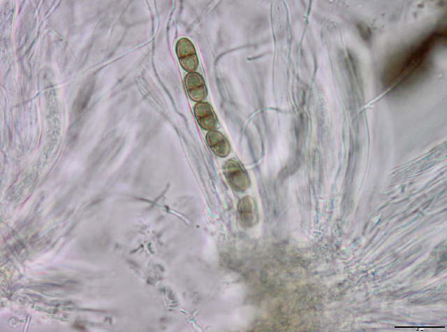 Image of Didymosphaeria