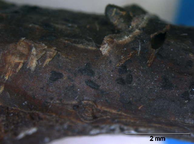 Image of Schizothyriaceae