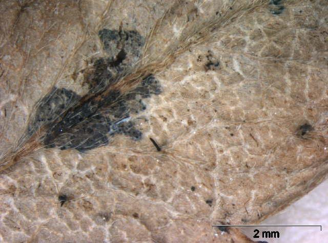 Image of Ophiognomonia
