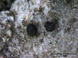 Image of Mytilinidiaceae