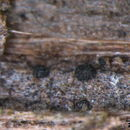 Image of Patellariaceae