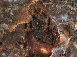 Image of Calosphaeria