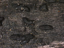 Image of Hysterographium