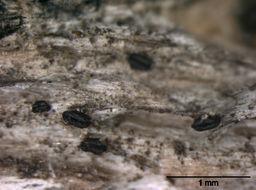 Image of Gloniopsis