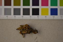Image of <i>Ramaria broomei</i>