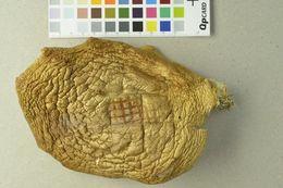 Image of <i>Hypsizygus ulmarius</i> (Bull.) Redhead 1984