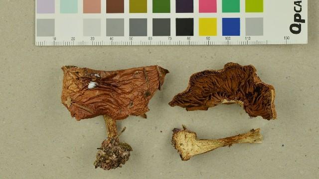 Image of <i>Cortinarius aureofulvus</i> M. M. Moser 1952