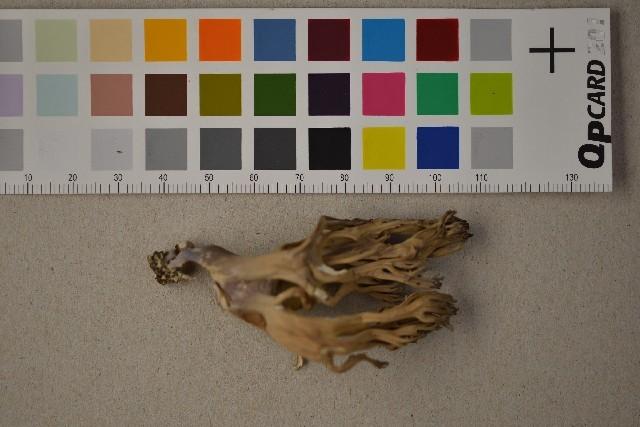 Image of <i>Ramaria fumigata</i> (Peck) Corner 1950