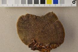 Image of Phellinus