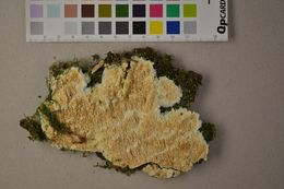 Image of Tooth Fungi