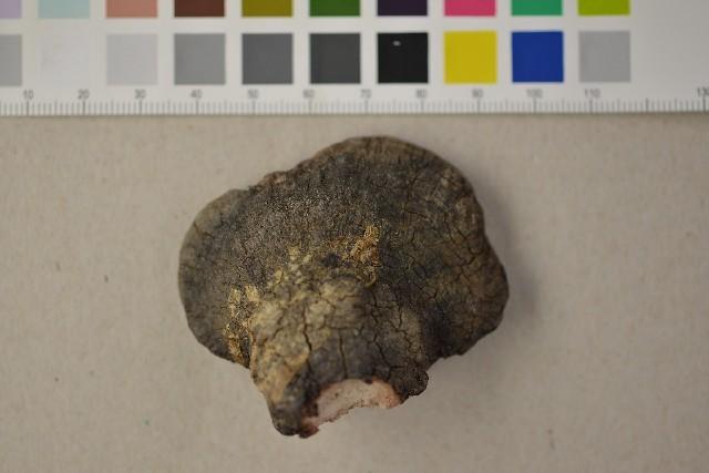 Image of Fomitopsis