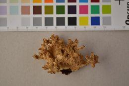 Image of Hericium