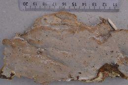 Image of <i>Scytinostroma portentosum</i> (Berk. & M. A. Curtis) Donk 1956