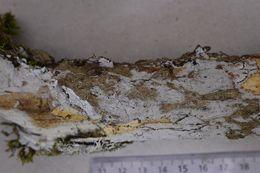 Image of <i>Athelopsis glaucina</i> (Bourdot & Galzin) Oberw. ex Parmasto 1968