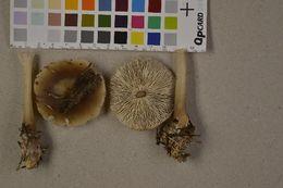 Image of <i>Rhodocollybia butyracea</i> fm. <i>asema</i>