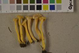 Image of <i>Craterellus sinuosus</i>