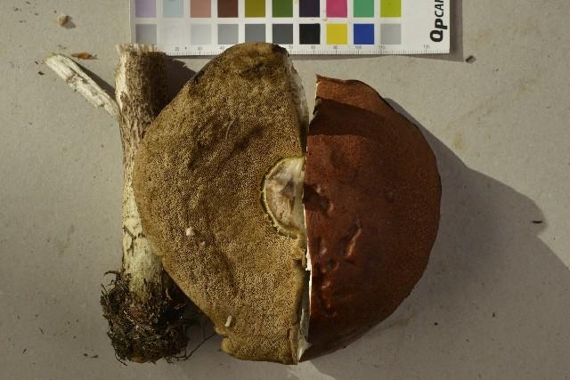 Image of Leccinum