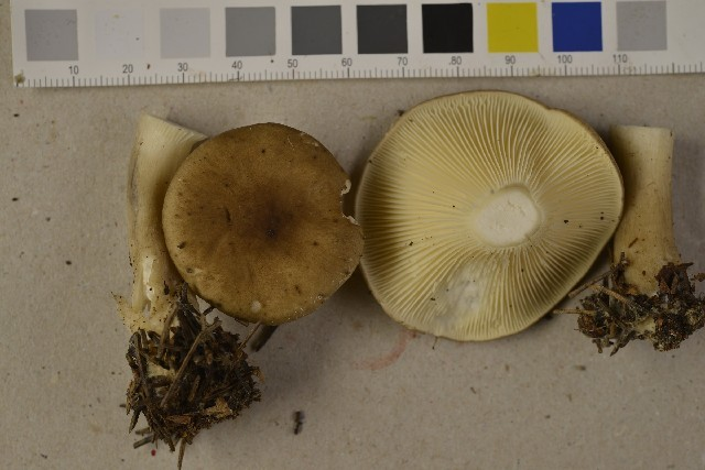 Image of Club-foot Clitocybe