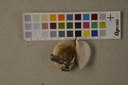 Image of <i>Fomitopsis betulina</i> (Bull.) B. K. Cui, M. L. Han & Y. C. Dai 2016