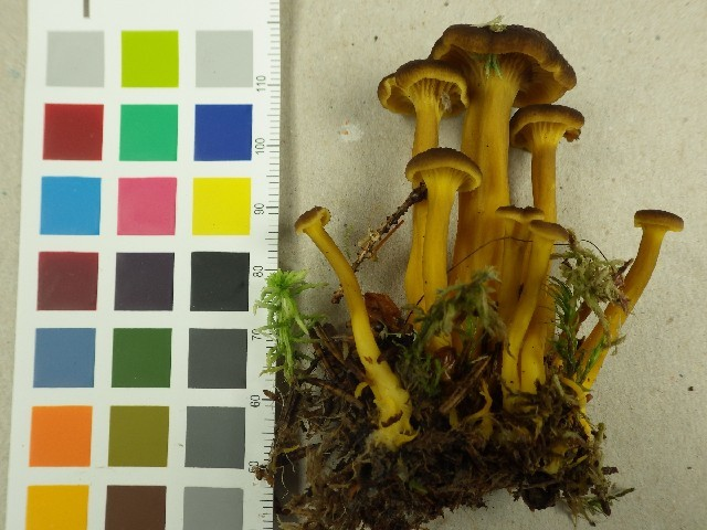 Image of Funnel Chanterelle