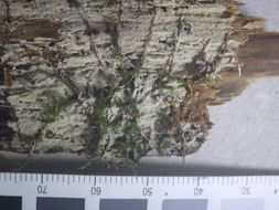 Image of <i>Hyphodontia subalutacea</i> (P. Karst.) J. Erikss. 1958