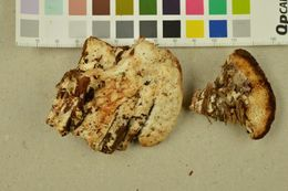 Image of brown-staining cheese polypore
