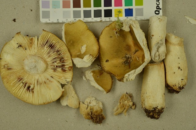 Image of common yellow russula