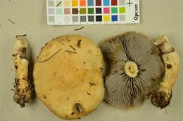 Image of lacerated stropharia