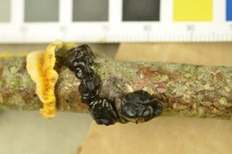 Image of Black Witches' Butter