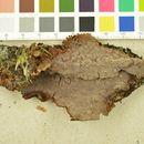Image of <i>Veluticeps abietina</i> (Pers.) Hjortstam & Tellería 1990