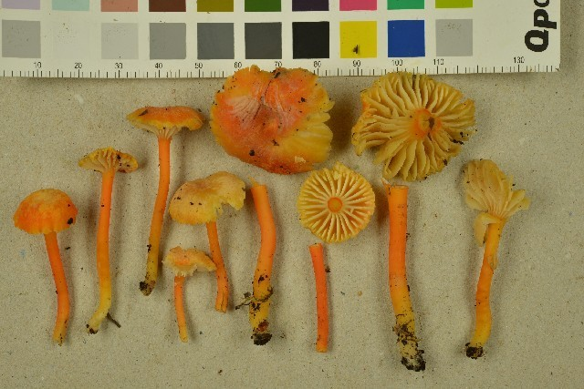 Image of <i>Hygrocybe cantharellus</i> (Fr.) Murrill 1911