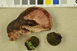 Image of <i>Rhodofomes roseus</i> (Alb. & Schwein.) Vlasák 1990