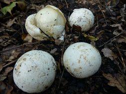 Image of Family: Stinkhorn fungi