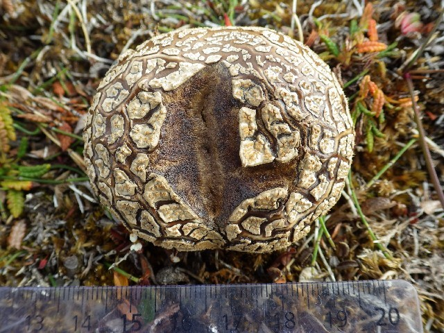 Image of Calvatia