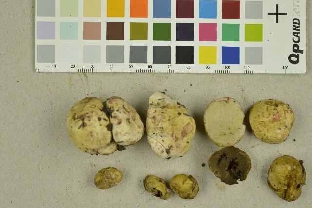 Image of Rhizopogon