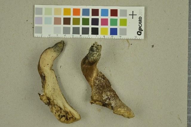 Image of <i>Sarcodon fennicus</i> (P. Karst.) P. Karst. 1887