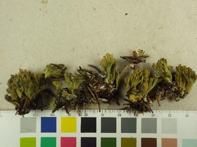 Image of <i>Ramaria abietina</i>