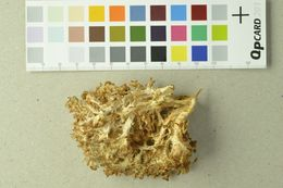 Image of Coral tooth