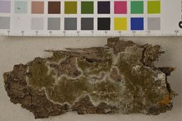 Image of <i>Botryobasidium conspersum</i> J. Erikss. 1958