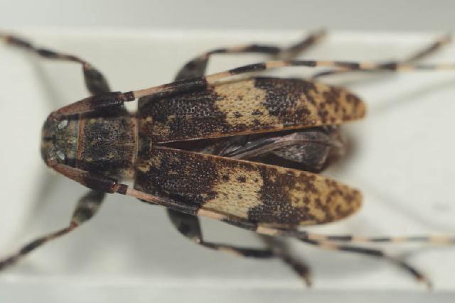 Image of Leiopus