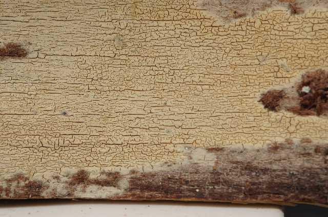 Image of Conferticium